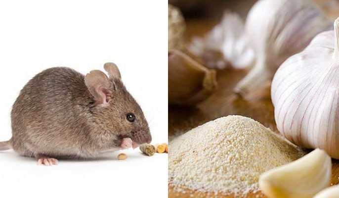 Mẹo đuổi chuột bằng tỏi