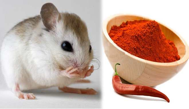 Mẹo đuổi chuột bằng ớt