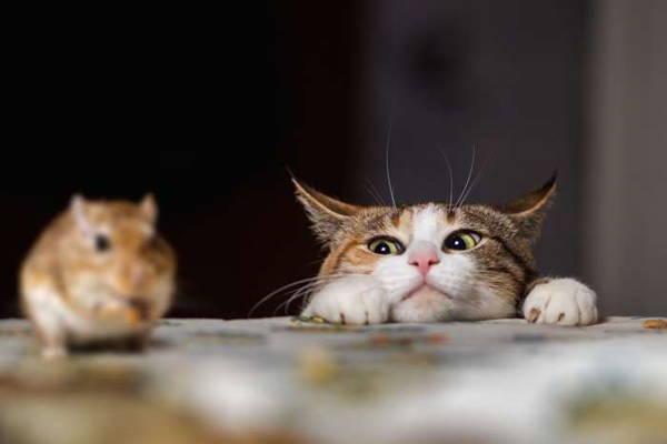 Nuôi mèo để đuổi chuột